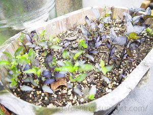 ブラックパールの種まき