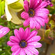 オステオスペルマム~花の育て方